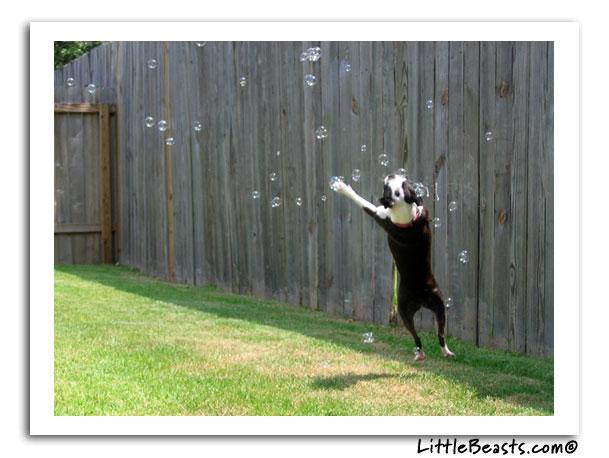 boston terrier photo of the