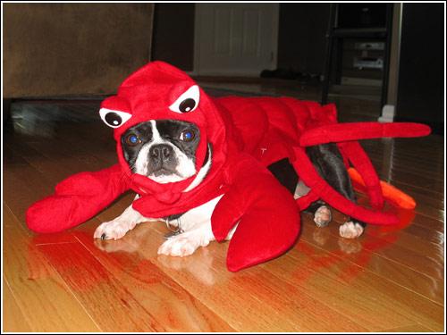 J 'n L Boston Terriers Boston Terrier Hallowe...